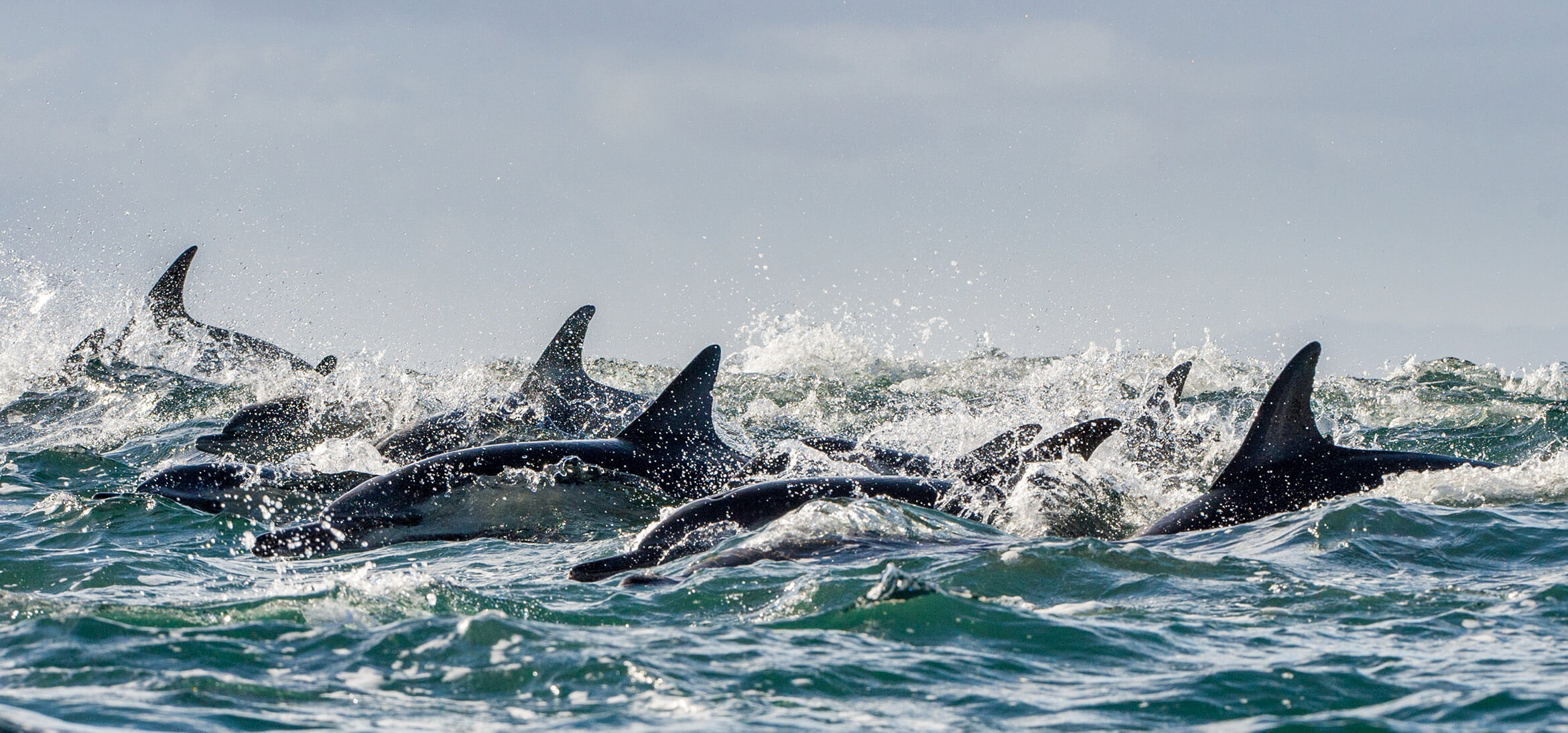 Group of dolphins swimming in the ocean in Alabama
