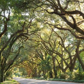 Tunnel of trees at our bed and breakfast in Gulf Shores, AL